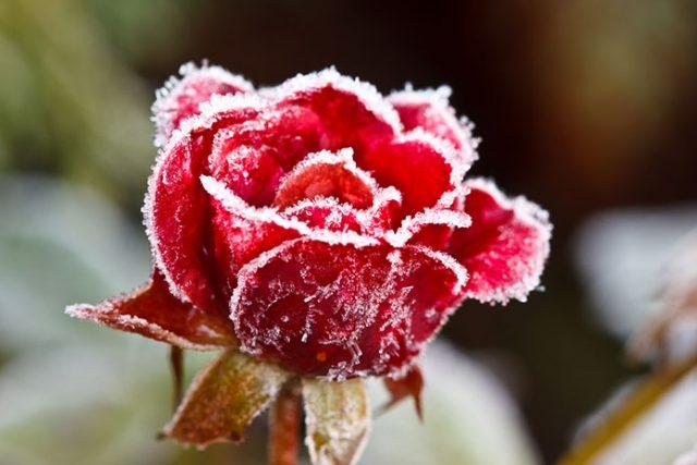 Jak pielęgnować róże zimą?