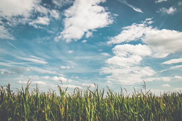 Jak zabezpieczyć nasze uprawy rzepaku przed owadami lub chwastami